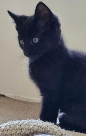 Aramis (bonded to Athos) Domestic Medium Hair Cat