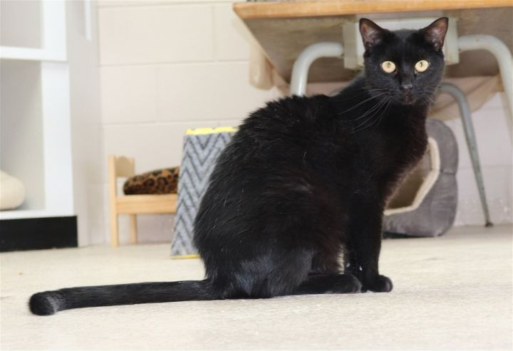 Mystic, an adoptable Domestic Short Hair & American Shorthair Mix in Monroe, MI_image-1