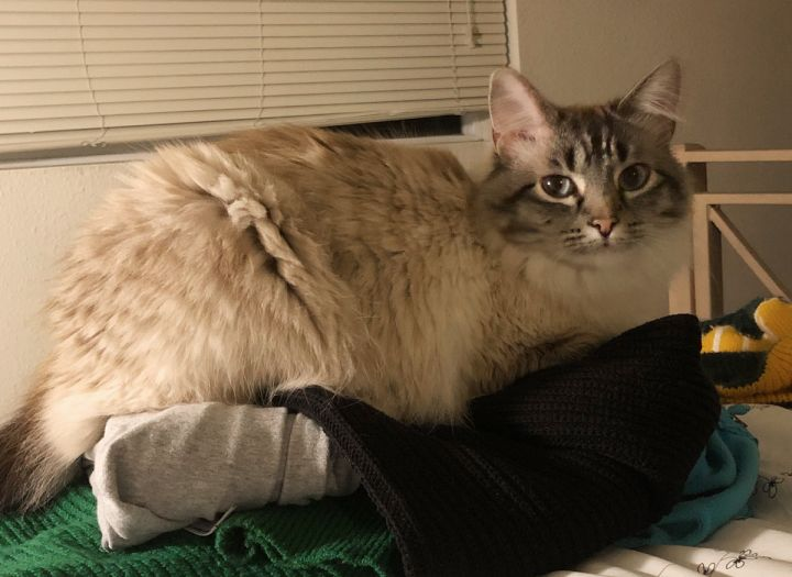 Sailor, an adoptable Domestic Medium Hair & Siamese Mix in Springfield, OR_image-3