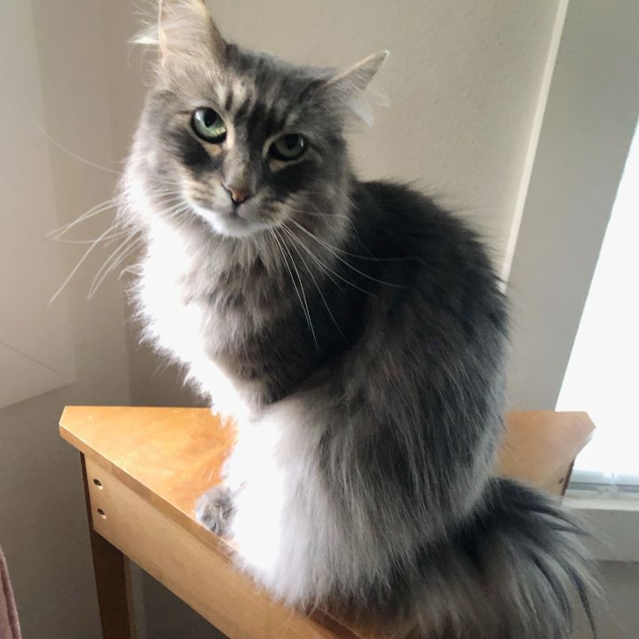 Nala, an adoptable Tabby & Domestic Long Hair Mix in Springfield, OR_image-1