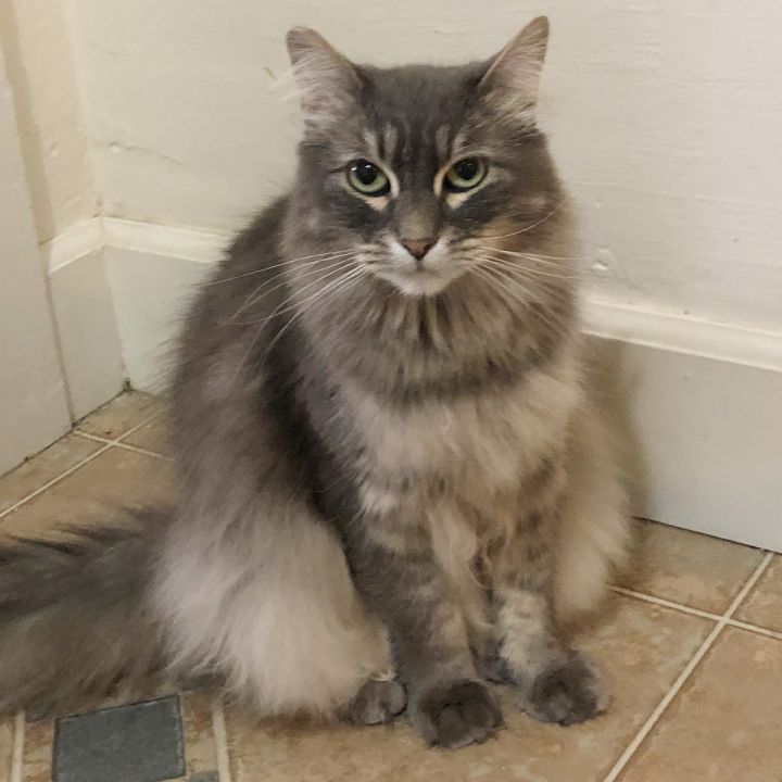 Nala, an adoptable Tabby & Domestic Long Hair Mix in Springfield, OR_image-2