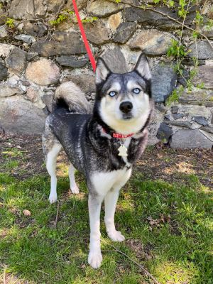 TO APPLY GO TO wwwLuckyDogRefugecom HUSKY EXPERIENCED REQUIRED Meet Mercy an absolutely stunni