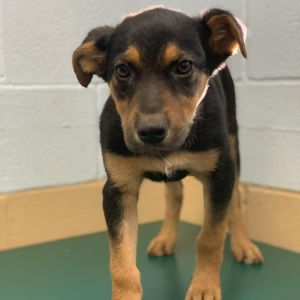 Meet Stormi  My name is Stormi and I am a Shepard mix from Mississippi I weigh