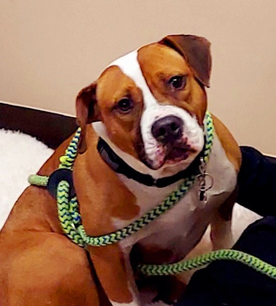 Chip, an adoptable English Bulldog & American Staffordshire Terrier Mix in Utica, MI_image-2
