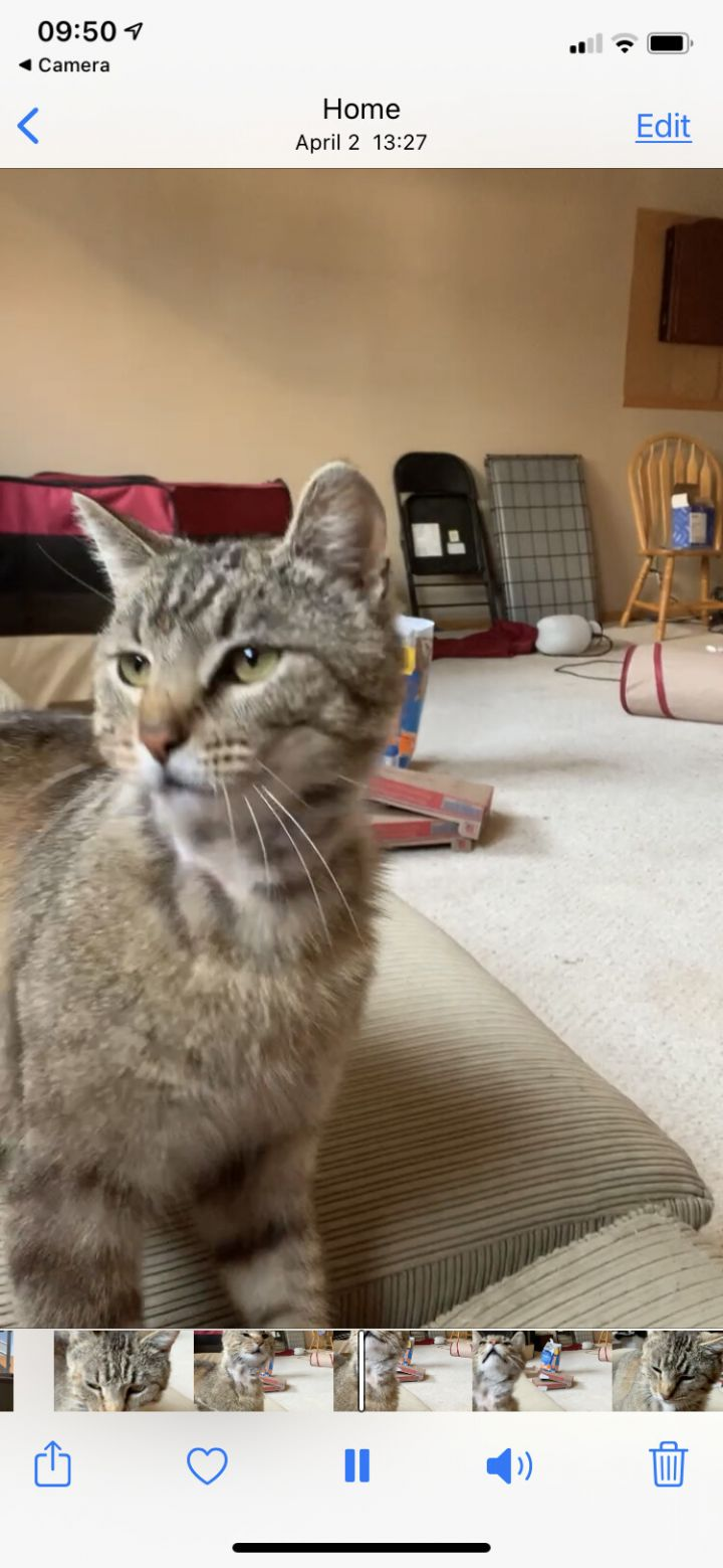 Zander/Zoe, an adoptable Domestic Short Hair in Omaha, NE_image-3