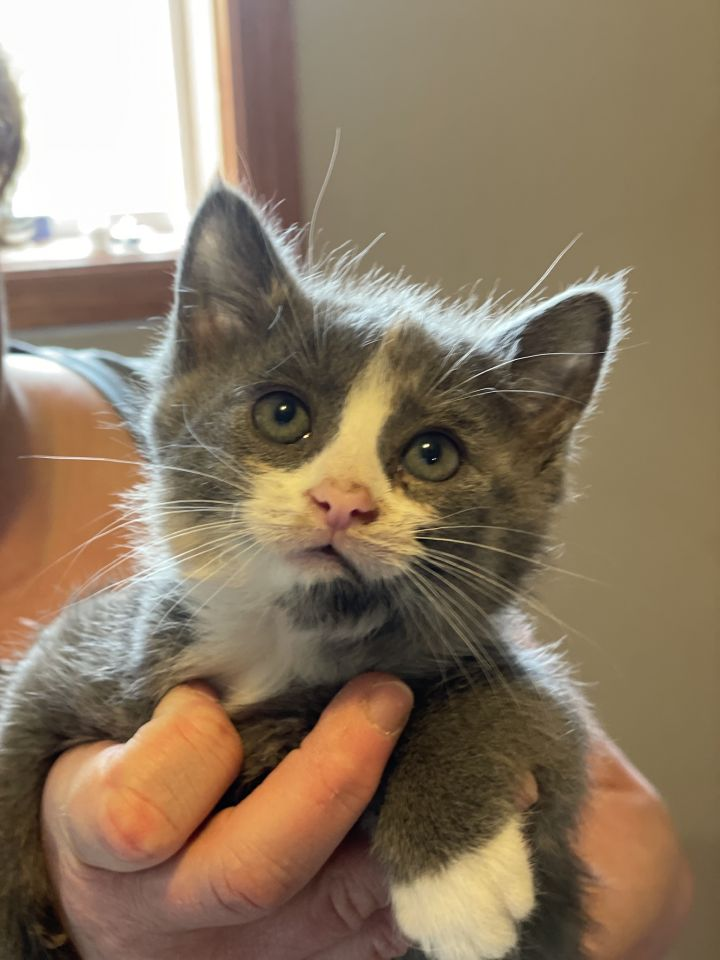 Lena, an adopted Dilute Calico in Omaha, NE_image-1