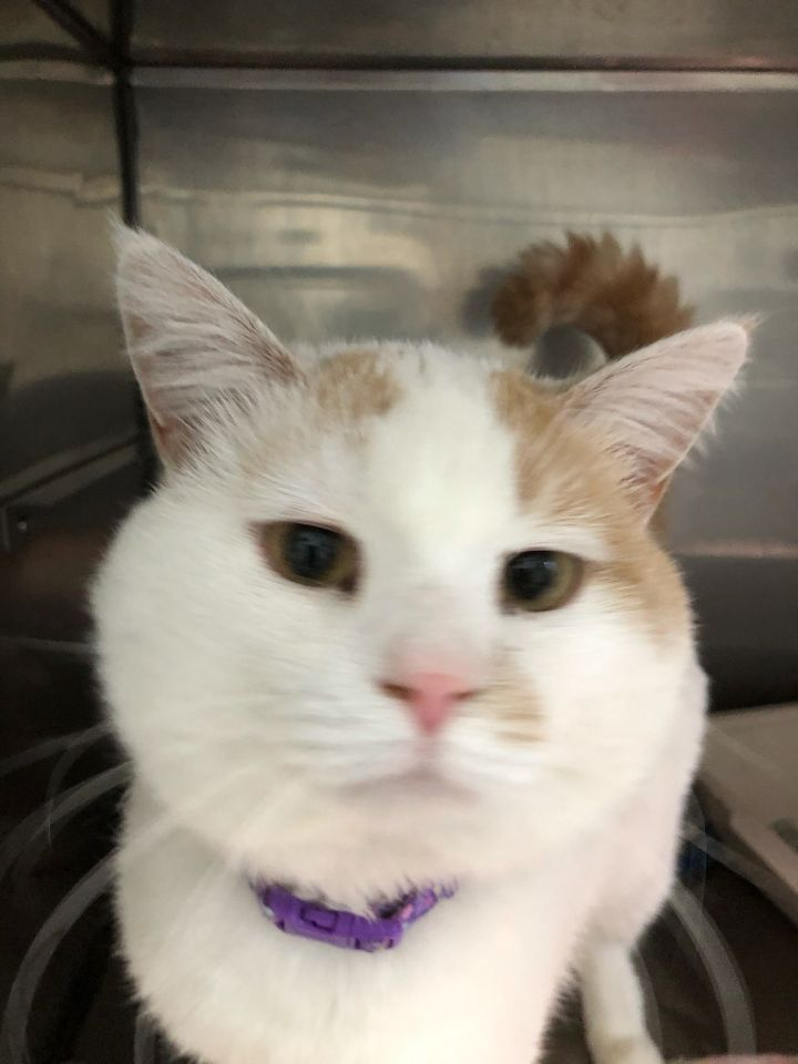 Snowball, an adoptable American Shorthair in Big Rapids, MI_image-1