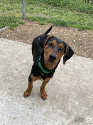 Timberfoot is a 4 month old neutered male hound mix that weighs about 25lbs at this time If you l