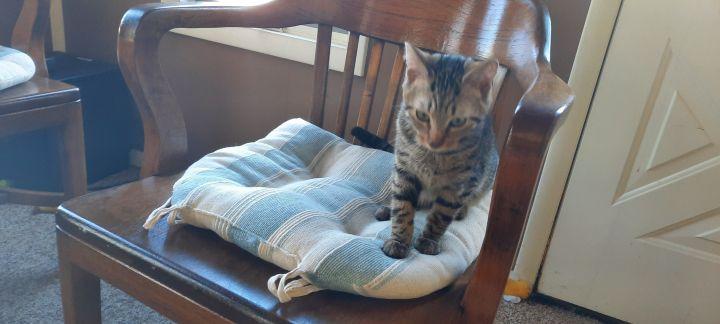 Bosley & Charlie Tabby Twin Kitties 4
