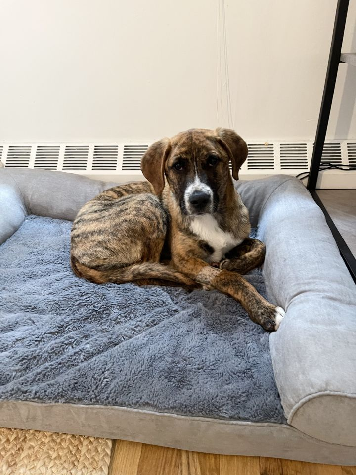 Montana, an adoptable Hound Mix in Staten Island, NY_image-3