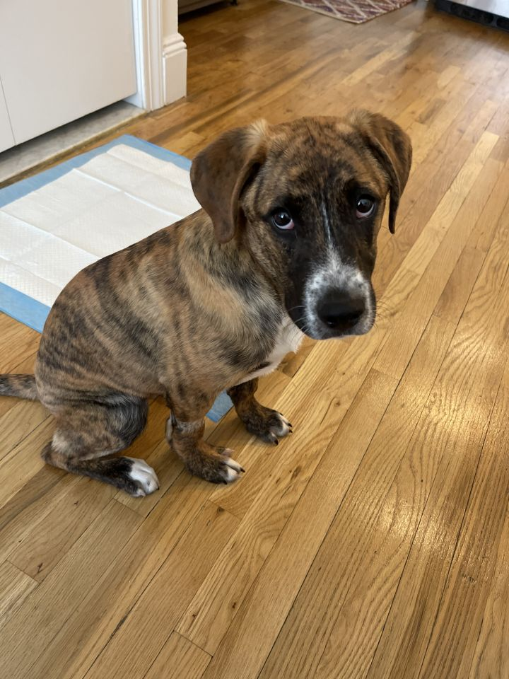Montana, an adoptable Hound Mix in Staten Island, NY_image-1