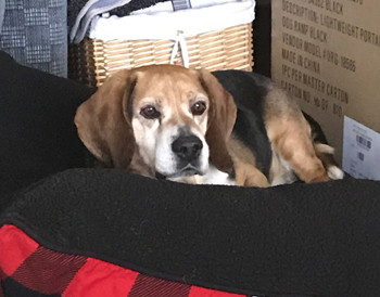 Buck, an adoptable Beagle in West Decatur, PA_image-2