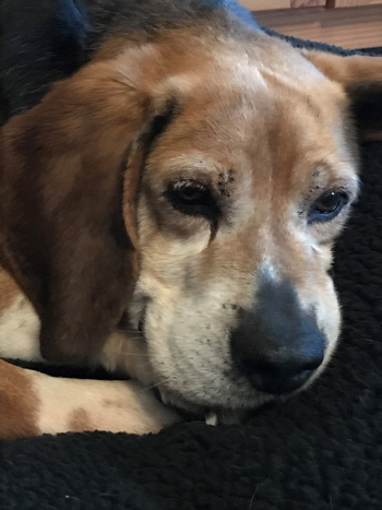 Buck, an adoptable Beagle in West Decatur, PA_image-6