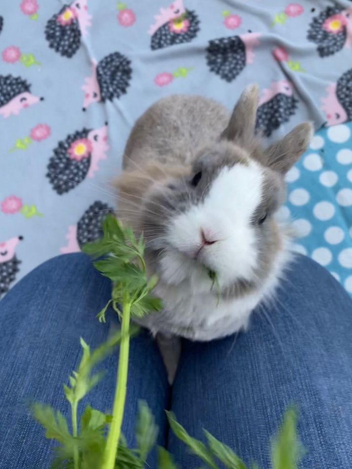 Kellogg, an adoptable Lionhead in Livermore, CA_image-2