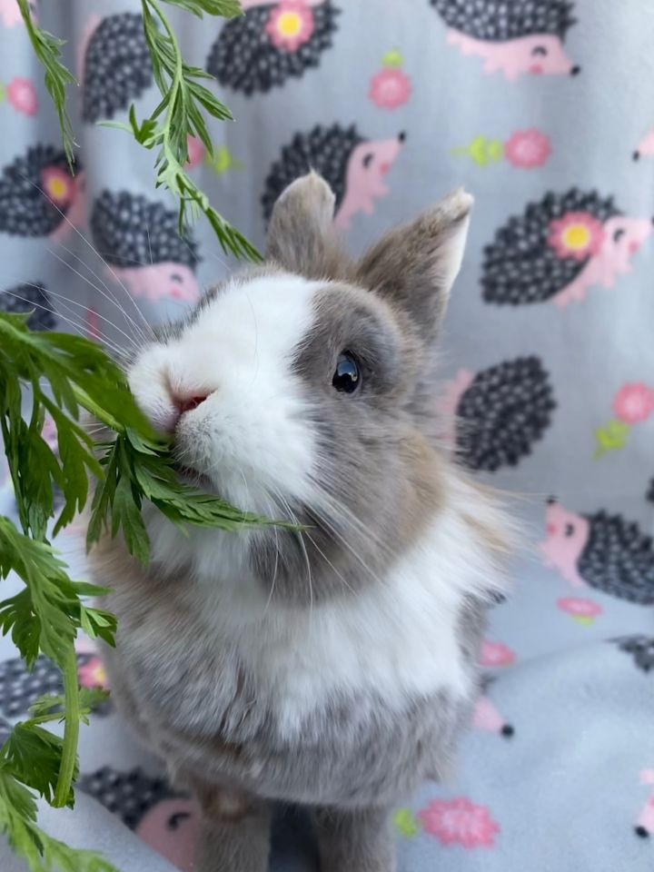 Kellogg, an adoptable Lionhead in Livermore, CA_image-1