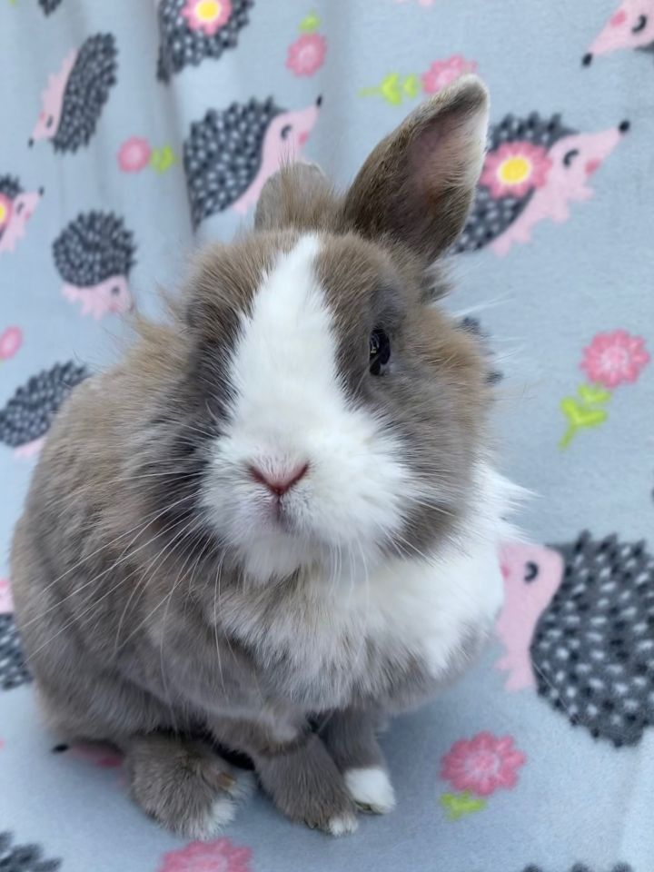 Kellogg, an adoptable Lionhead in Livermore, CA_image-3