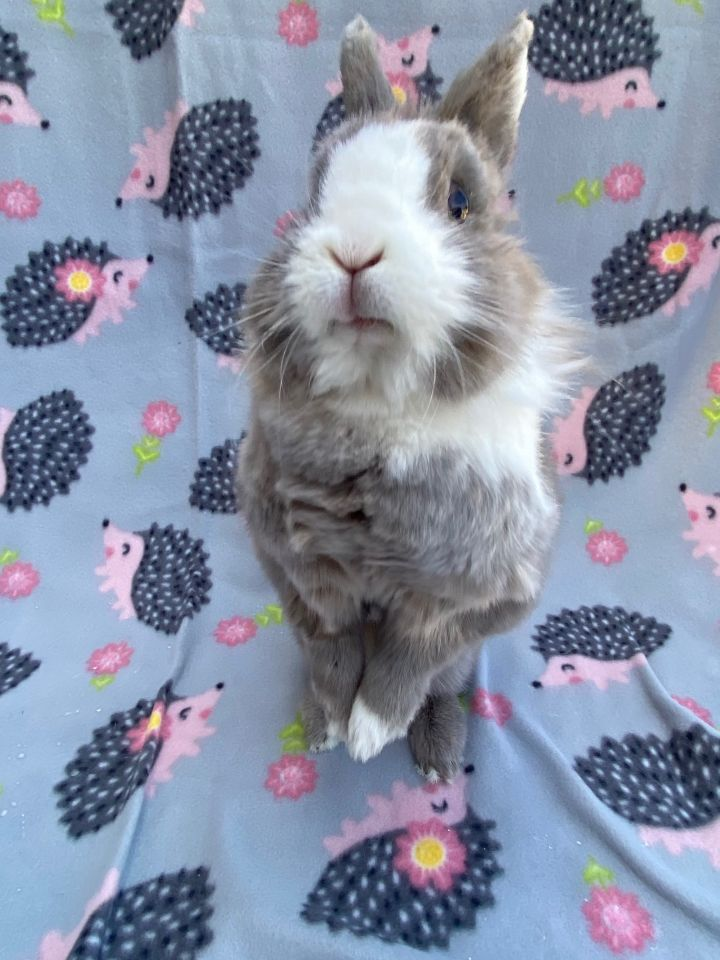 Kellogg, an adoptable Lionhead in Livermore, CA_image-4