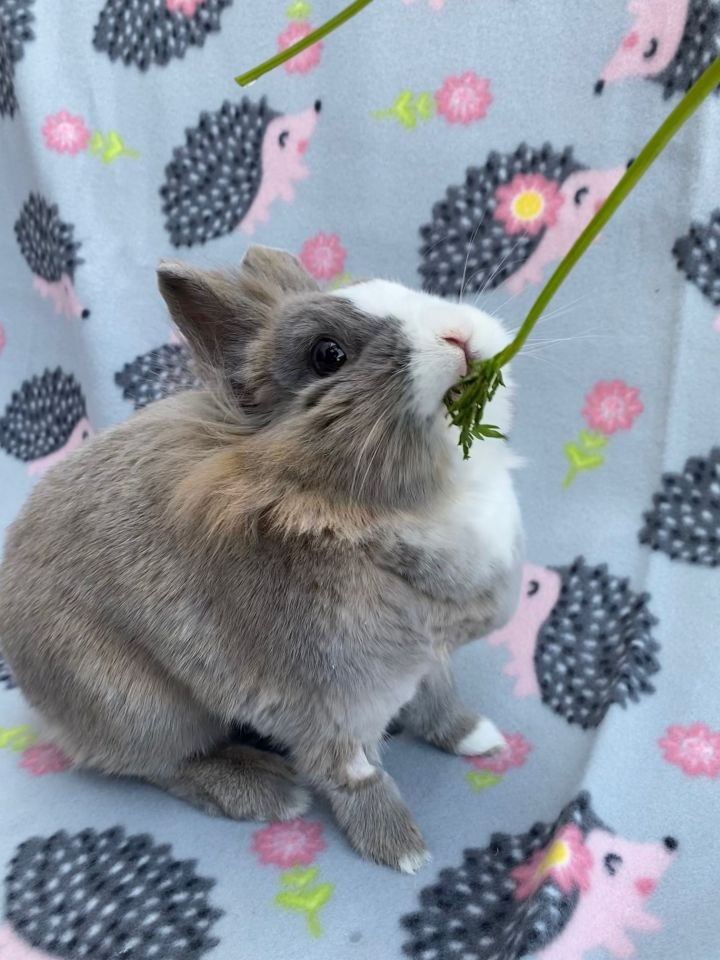 Kellogg, an adoptable Lionhead in Livermore, CA_image-5