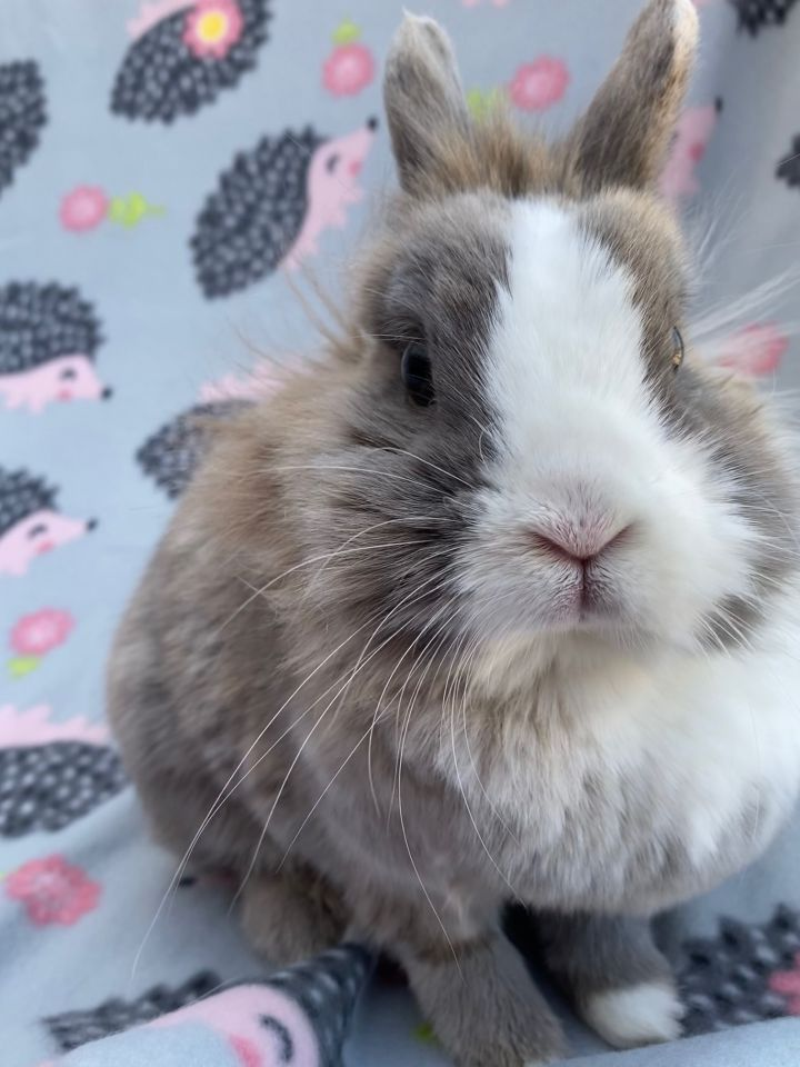 Kellogg, an adoptable Lionhead in Livermore, CA_image-6