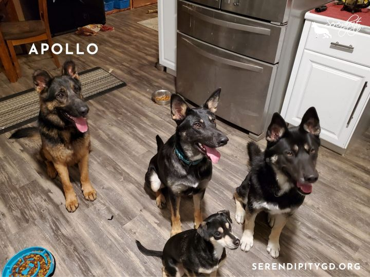 Apollo, an adoptable German Shepherd Dog in Chesterfield, MO_image-3