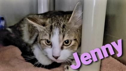Jenny, an adoptable Domestic Short Hair in Cumberland, MD_image-1