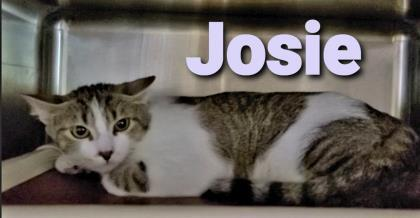 Josie, an adoptable Domestic Short Hair in Cumberland, MD_image-1