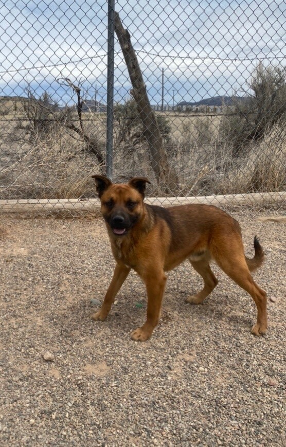 Billy, an adoptable Shepherd in Rifle, CO_image-1
