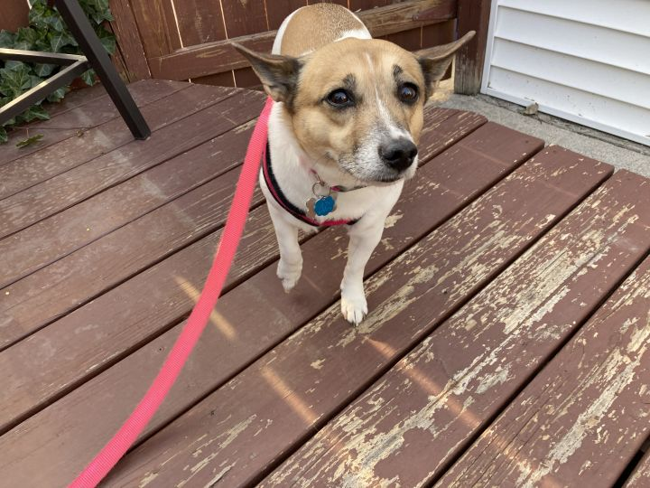 Serena - Good Girl!, an adoptable Jack Russell Terrier & Corgi Mix in Holland, MI_image-3