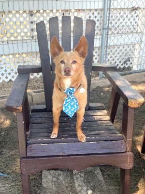 Teddy Chihuahua Dog