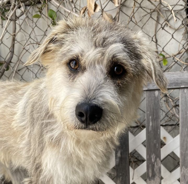 Gunther, an adoptable Terrier & Schnauzer Mix in Los Alamitos, CA_image-2