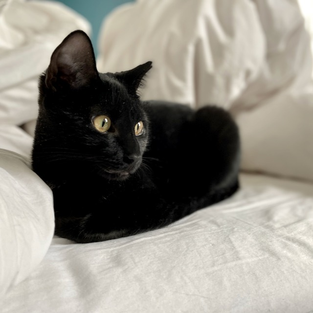 Fanny, an adoptable Domestic Short Hair in Jersey City, NJ_image-3