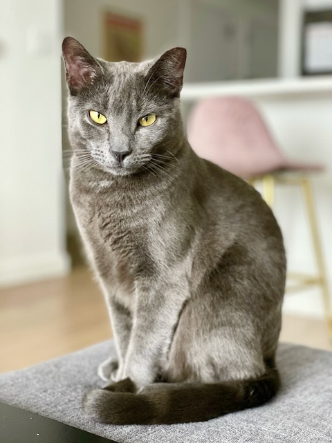 Fanny, an adoptable Domestic Short Hair in Jersey City, NJ_image-4