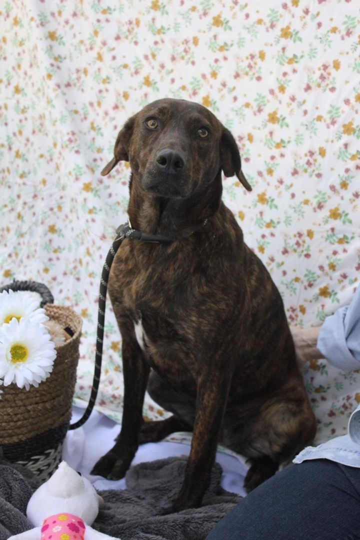 Athena, an adoptable Labrador Retriever & Hound Mix in Brewster, NY_image-2