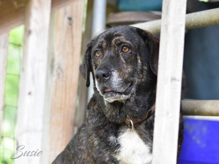 Suzie, an adopted Plott Hound Mix in Brewster, NY_image-2