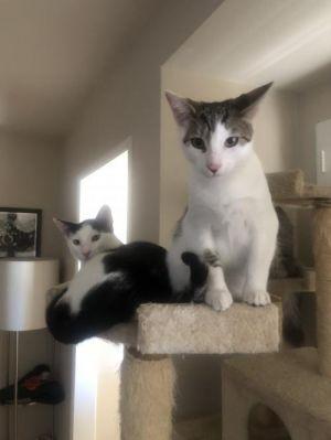 Indigo Domestic Short Hair Cat