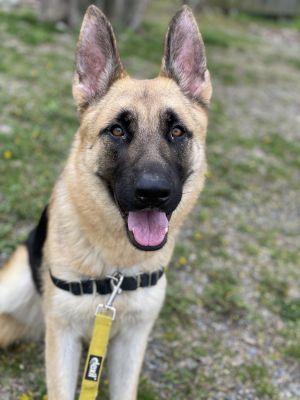 1 year old Zantana Shy submissive super sweet loving dog German Shepherd exper