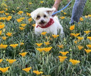 Lucia Maria Sangria Maltese Dog