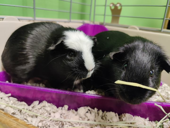 Butch and Sundance, an adoptable Guinea Pig in Bellingham, WA_image-1