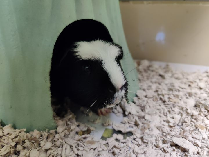 Butch and Sundance, an adoptable Guinea Pig in Bellingham, WA_image-2