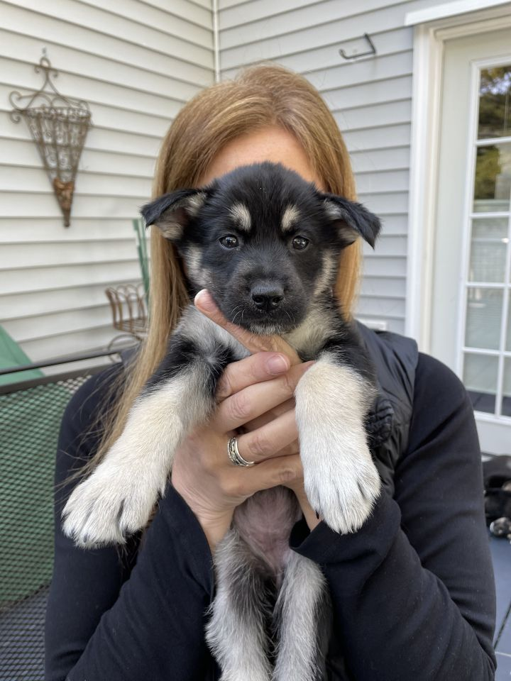 Jordyn (Piper's Litter), an adopted Shepherd Mix in Brewster, NY_image-2