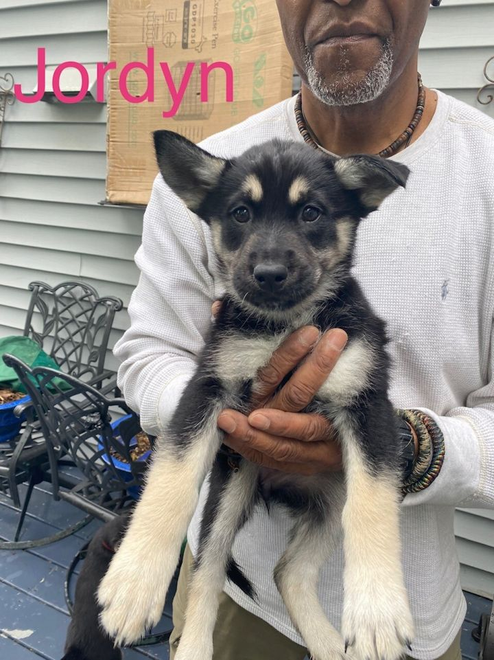 Jordyn (Piper's Litter), an adopted Shepherd Mix in Brewster, NY_image-1