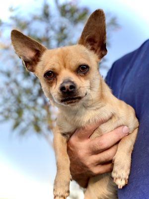 Gordon Ramsay Chihuahua Dog