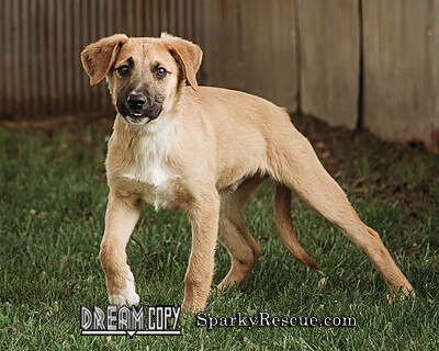 Maverick, an adoptable Shepherd & Hound Mix in Owensboro, KY_image-1