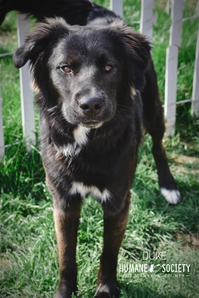 Duke, an adoptable Border Collie & Shepherd Mix in Johnstown, PA_image-1