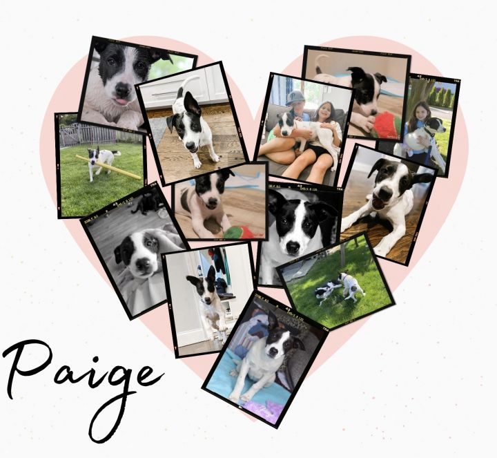 Paige (Pea Litter), an adoptable Pit Bull Terrier & Labrador Retriever Mix in Brewster, NY_image-3