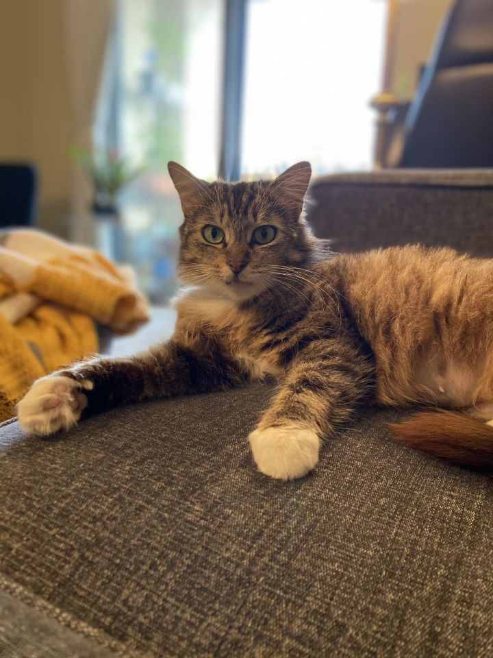 Lucille, an adoptable Domestic Medium Hair in Los Angeles, CA_image-1
