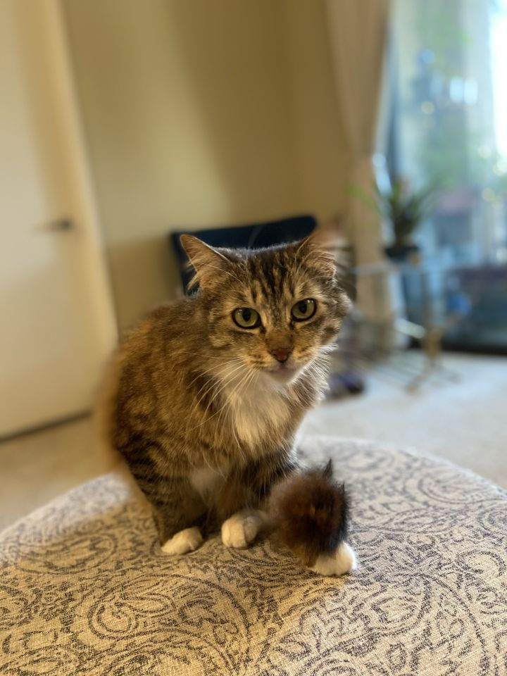 Lucille, an adoptable Domestic Medium Hair in Los Angeles, CA_image-2