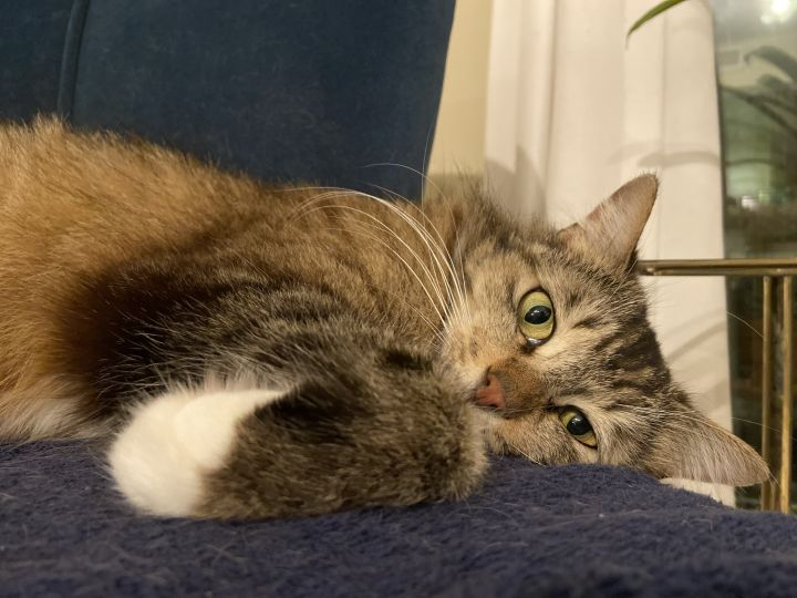 Lucille, an adoptable Domestic Medium Hair in Los Angeles, CA_image-3