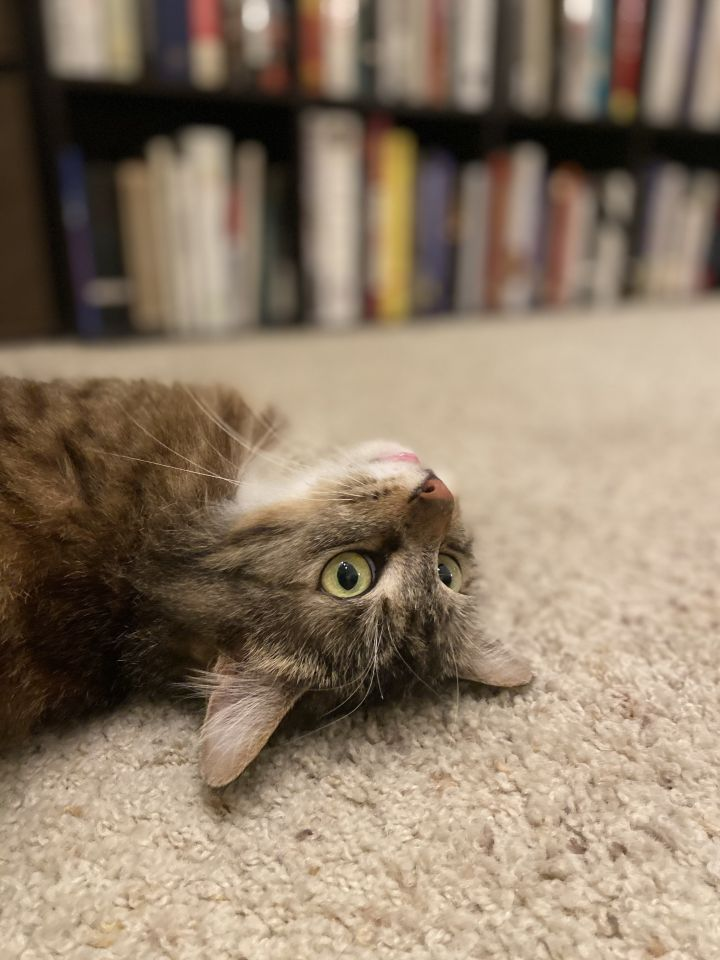 Lucille, an adoptable Domestic Medium Hair in Los Angeles, CA_image-4