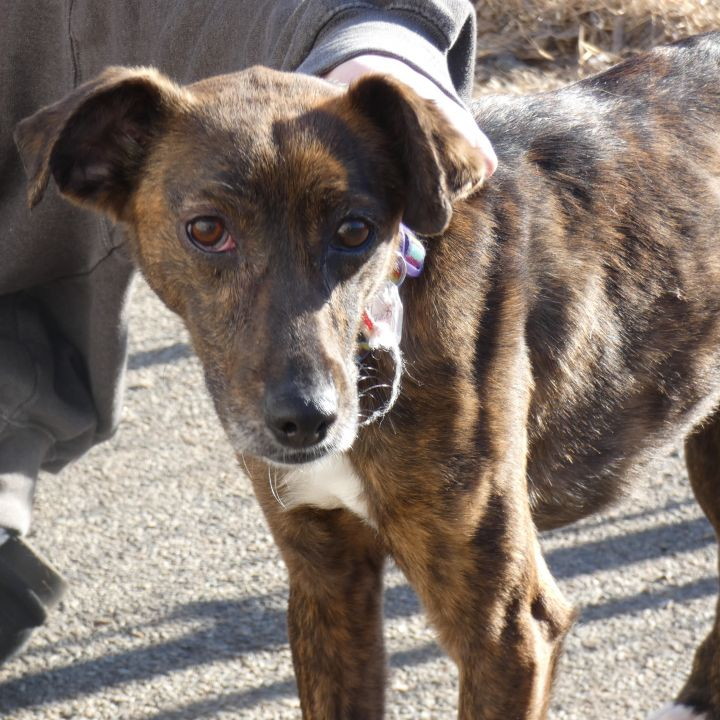 Skittles, an adoptable Mountain Cur Mix in Ringwood, NJ_image-4